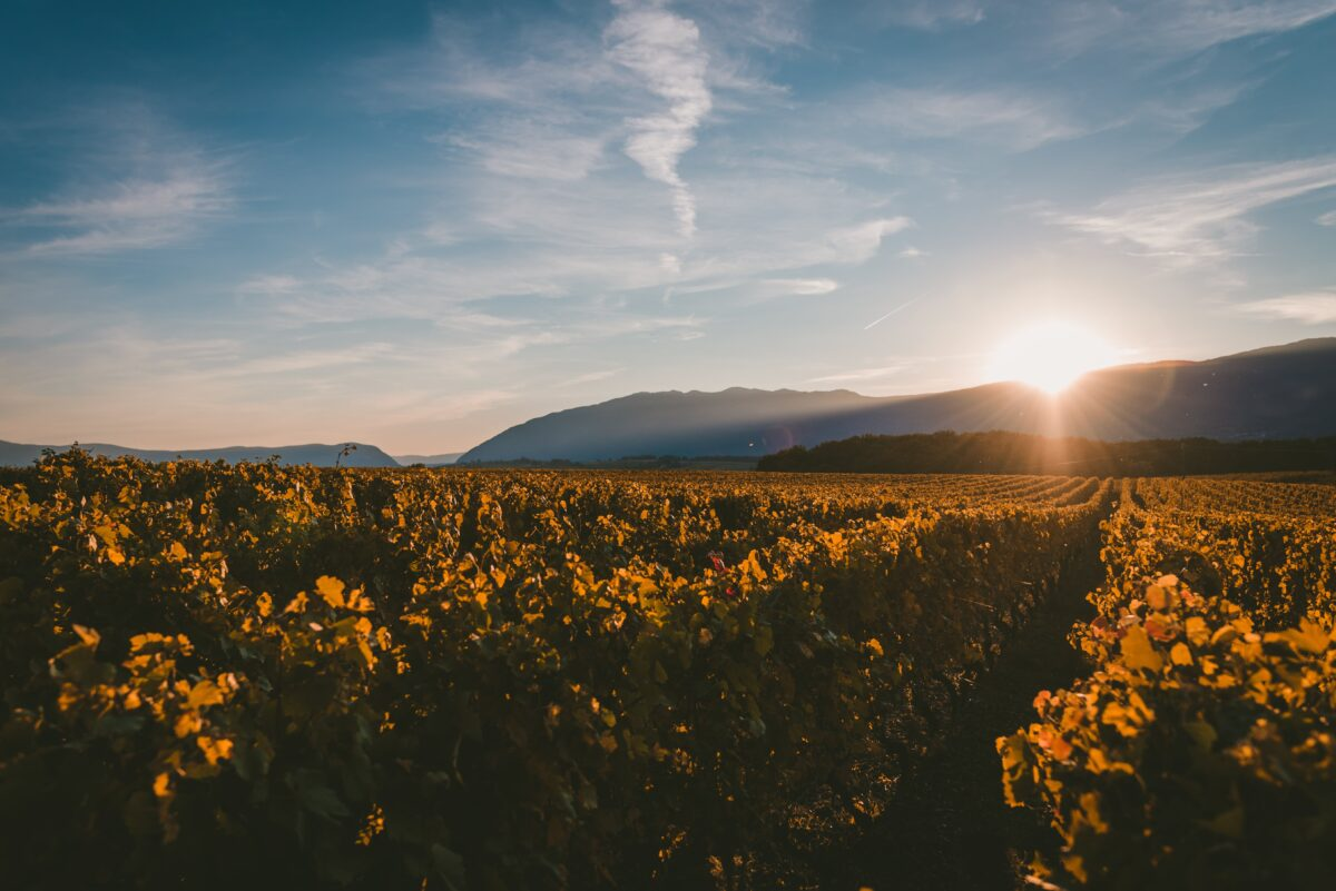 sun-setting-mountains-covering-vineyard-with-light-min (1)